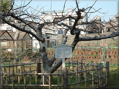 小石川植物園ニュートンのリンゴの木