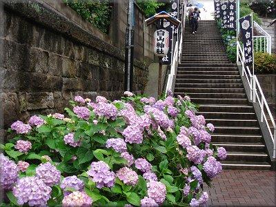 白山神社紫陽花まつり